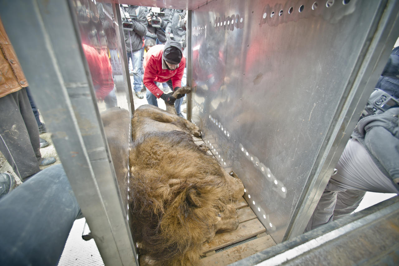 A sedated lion is positioned in a transport cage, at the estate of Ion Balint, known to Romanians as Nutzu the Pawnbroker, a notorious gangster, in Bucharest, Romania, Wednesday, Feb. 27, 2013. Authorities along with specialists of the animal welfare charity Vier Pfoten removed four lions and two bears that were illegally kept on the estate of one of Romaniaís most notorious underworld figures who reportedly used them to threaten his victims. Balint was arrested on Feb. 22, with dozens of others on charges of attempted murder, depriving people of their freedom, blackmail and illegally holding arms.(AP Photo/Vadim Ghirda)