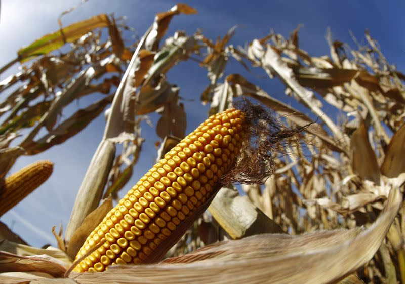 File photo of a cob of corn in field during the harvest in Minooka