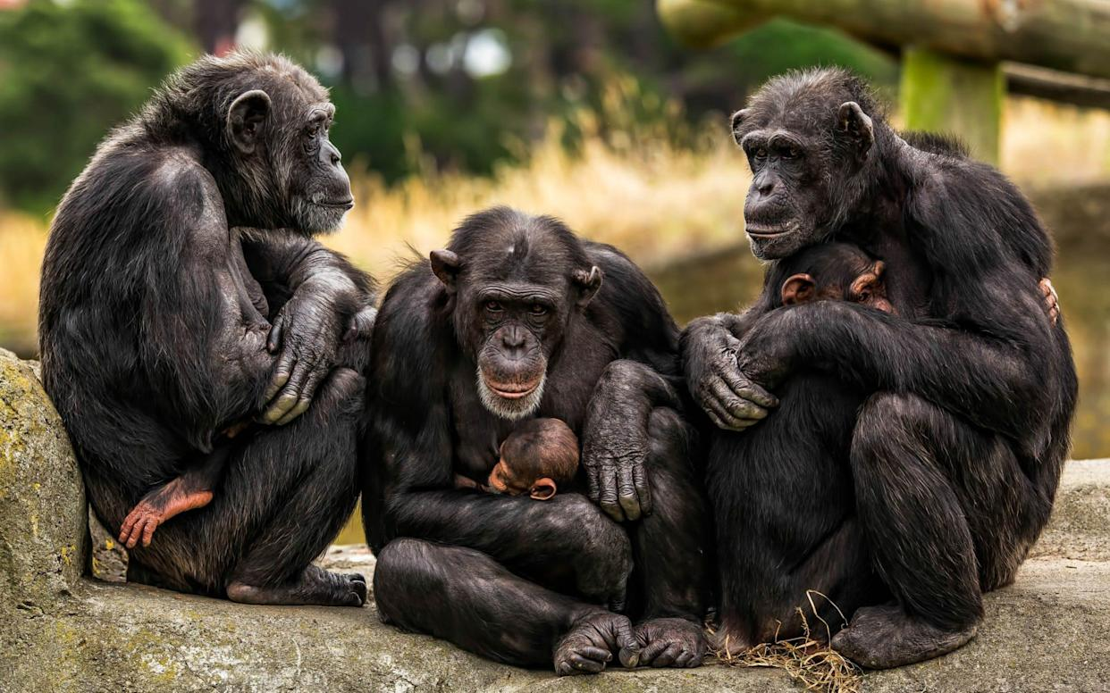 A group of chimpanzees in a New Zealand zoo - Levana Sietses / mediadrumworld.