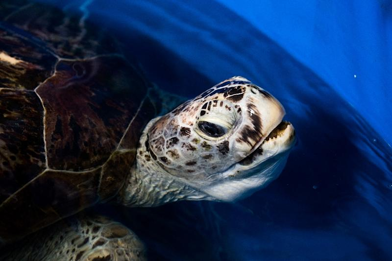 Turtle who had 915 coins removed from stomach dies