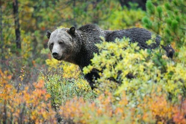 Grizzly bear in fall colours in the Canadian Rockies. (John E. Marriott, EXPOSED Wildlife Conservancy - image credit)
