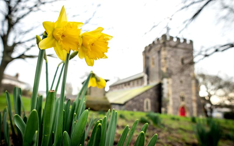 Daffodils bloom unexpectedly early at the Church of St Nicholas of Myra, the original parish church of Brighton, on January 2, 2019 - Getty Images Europe