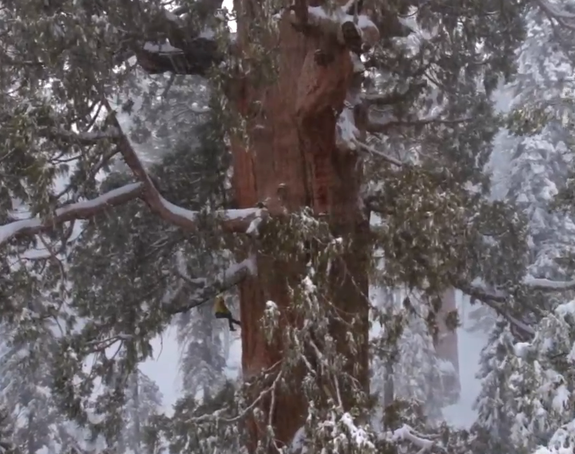 Will Iconic Sequoias Fall to Climate Change?