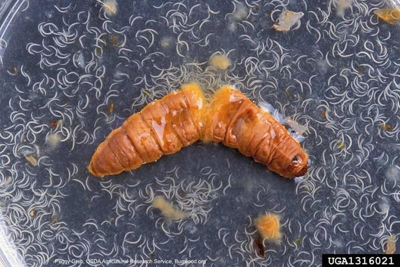 Nematodes emerging from a dead moth larva. Image credit: Peggy Greb