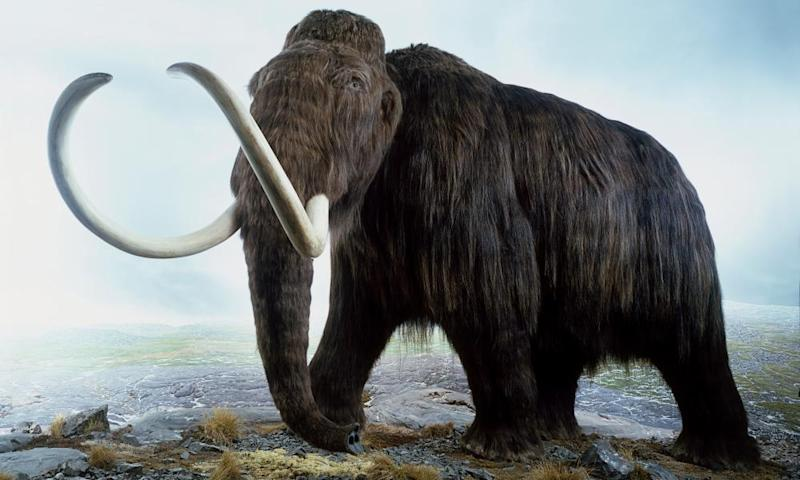 Scientists analysing genomes of the last woolly mammoths dwelling on island between Russia and Alaska found they were in the grip of mutational meltdown.