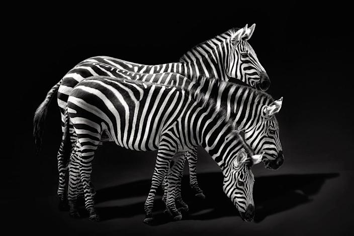 Three zebras standing along side each other. (Photo: Pedro Jarque Krebs/Caters News)
