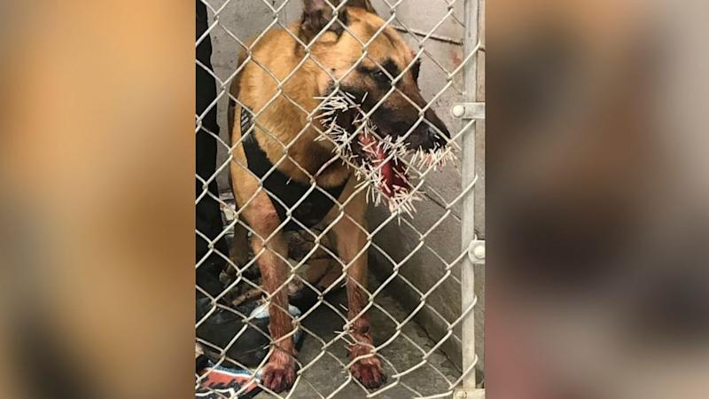 Police K-9 on chase stuck with over 200 quills by porcupine