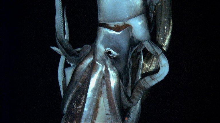 An image from footage taken by NHK and Discovery Channel in July 2012 and released on January 7, 2013 shows a giant squid up to 8m long, filmed at a depth of 630m in the sea near Ogasawara islands off Japan
