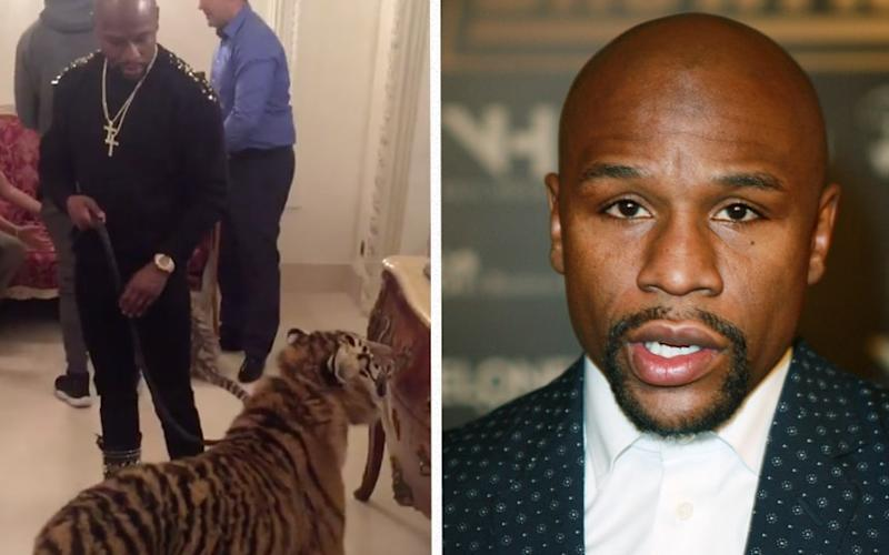 Floyd Mayweather walks a tiger around a busy hotel room  - Floyd