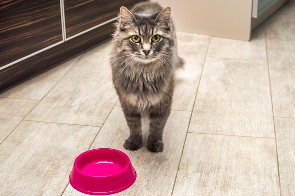 Gray fluffy cat with yellow eyes in the kitchen waiting for food.