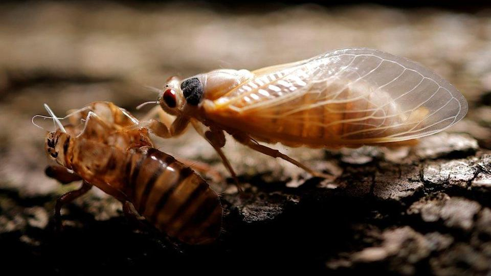 A periodical cicada drying its wings next to its exoskeleton
