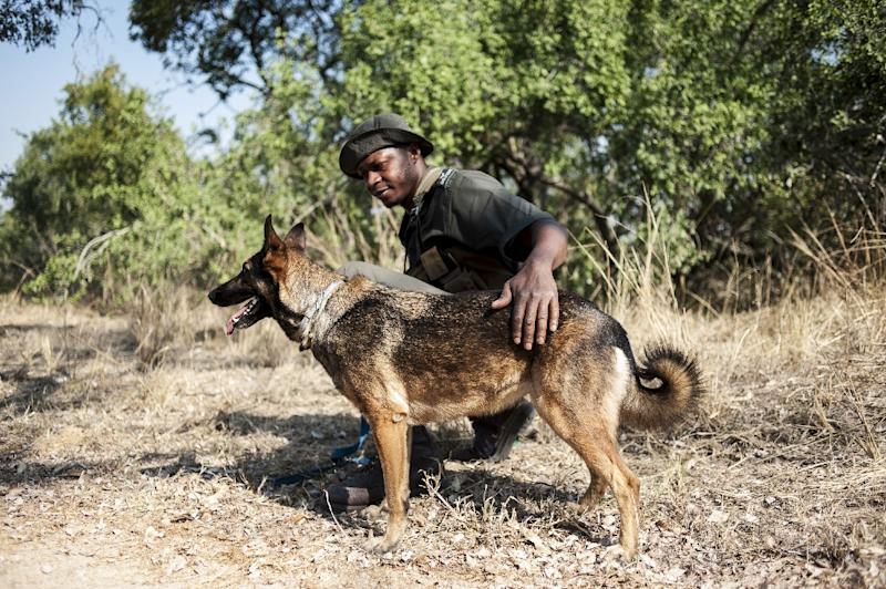 A member of the Kruger National Park Anti-Poaching K9 Unit and his dog patrol through the bush on June 23, 2015 (AFP Photo/Stefan Heunis)