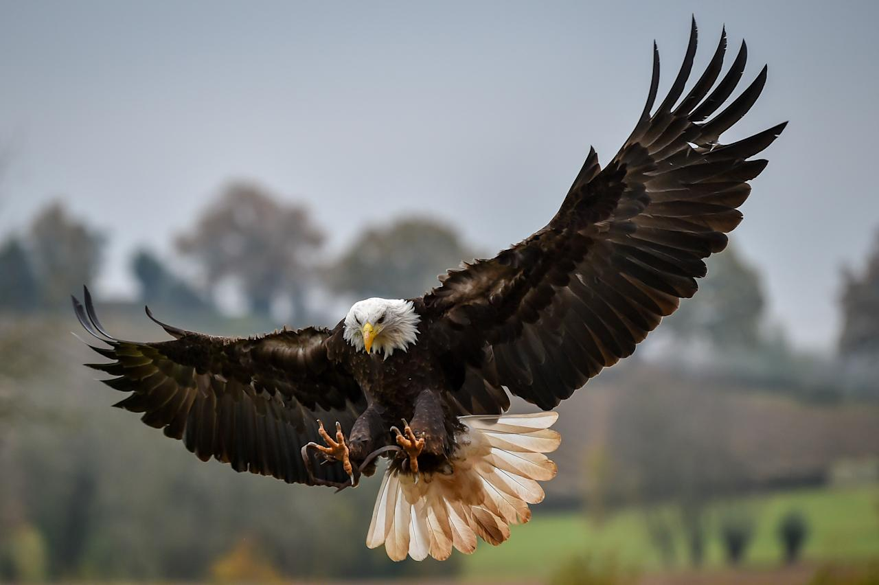 The bald eagle has a wingspan of eight feet. These majestic birds can also dive at up to 100 miles an hour to snatch a fish from the water.