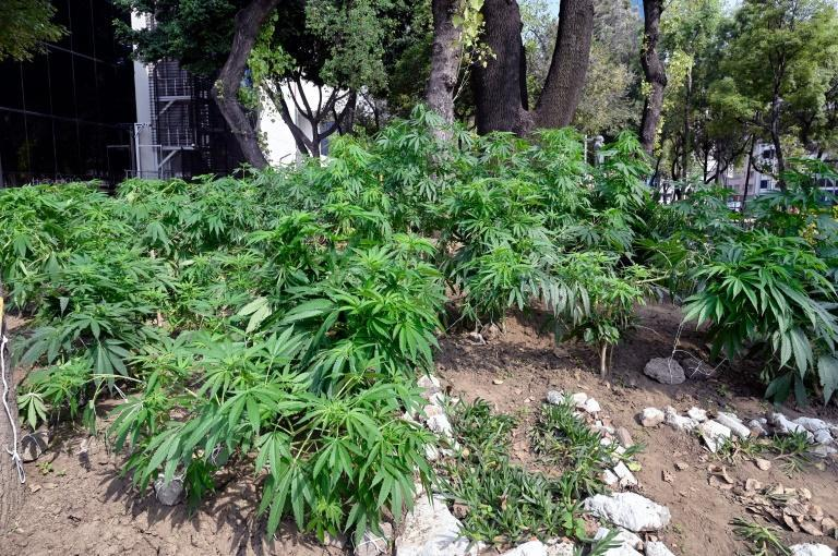 The marijuana garden has flourished thanks to a combination of summer heat and abundant rain