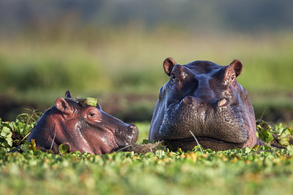 Hippopotamus female and calf submerged in lily covered pool in Kenya (naturepl.com/Anup Shah/WWF/PA)