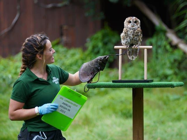 Keeper Hattie Sire with Owlberta the tawny owl during the annual weigh-in at ZSL London Zoo
