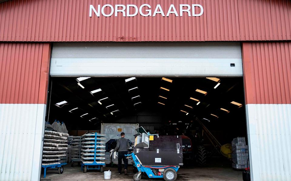 A worker at a mink farm in Denmark, which is culling thousands of the animals following the discovery of a new virus strain - Mads Claus Rasmussen/AFP