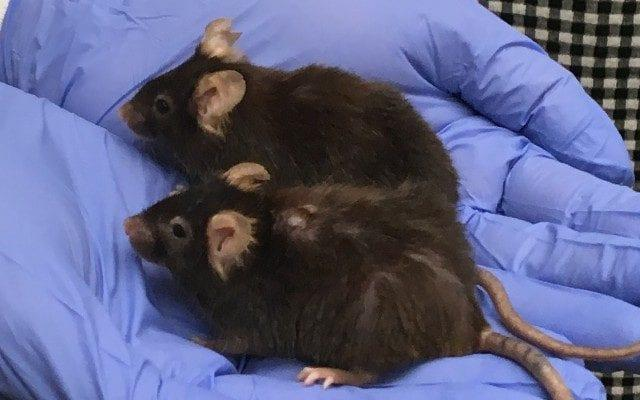 These mice are the same age but the lower has not been given anti-ageing drugs  - Sarah Knapton