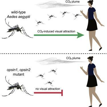 Researchers exhaled Carbon dioxide at the end of a wind tunnel. This helped in understanding how successfully mosquitoes tracked the host.