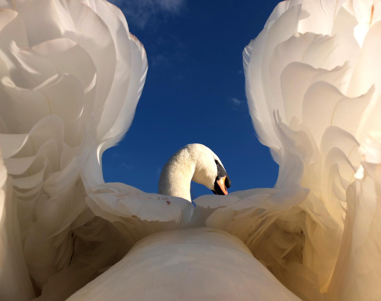 This stunning picture taken by Gerald Robinson of a swan won in the wildlife category (Gerald Robinson)