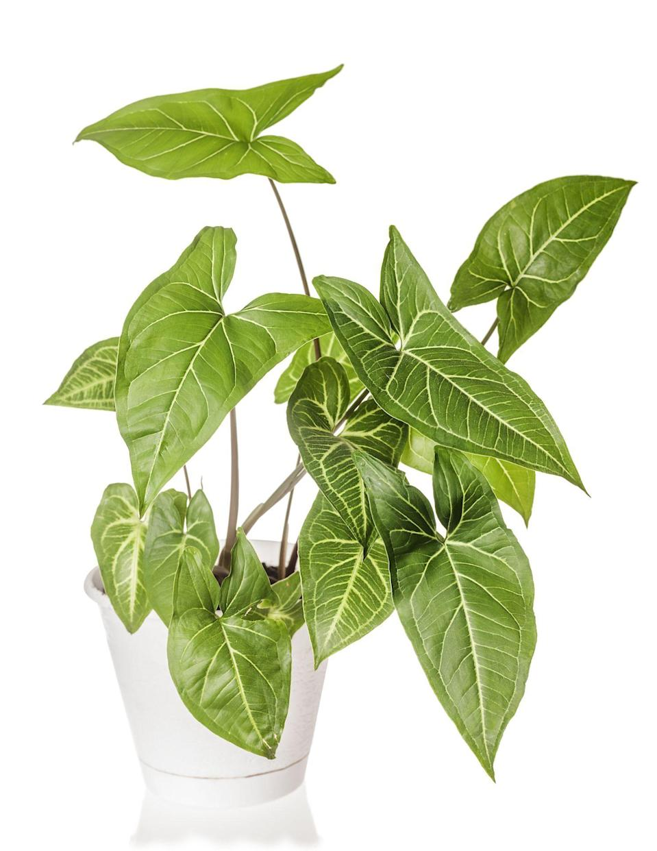 """<p><strong>Shirl's Plant Therapy</strong></p><p>etsy.com</p><p><strong>$15.00</strong></p><p><a href=""""https://go.redirectingat.com?id=74968X1596630&url=https%3A%2F%2Fwww.etsy.com%2Flisting%2F731483685%2Frare-syngonium-podophyllum-varigated&sref=https%3A%2F%2Fwww.elledecor.com%2Flife-culture%2Ffun-at-home%2Fnews%2Fg3284%2Fbest-indoor-plants-for-apartments%2F"""" rel=""""nofollow noopener"""" target=""""_blank"""" data-ylk=""""slk:Shop Now"""" class=""""link rapid-noclick-resp"""">Shop Now</a></p><p>""""Just like other variegated plants, the beauty exists in its tricolor foliage,"""" says Carter. """"It will need its soil to stay evenly moist, so you'll have to water it more frequently during spring and summer. Don't ever let the soil completely dry out. It thrives in humidity, so a weekly misting session would be beneficial. Like most houseplants, it likes bright indirect light but can also tolerate low light.""""</p>"""