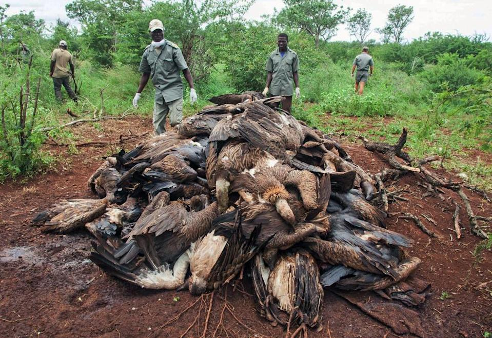 The corpses of poisoned vultures