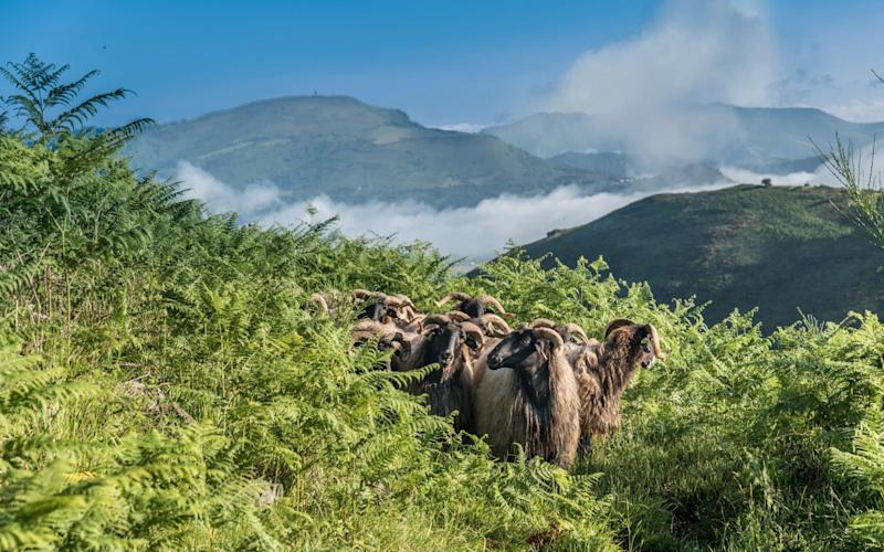 Sheep in the Pyrenees - Universal Images Group Editorial