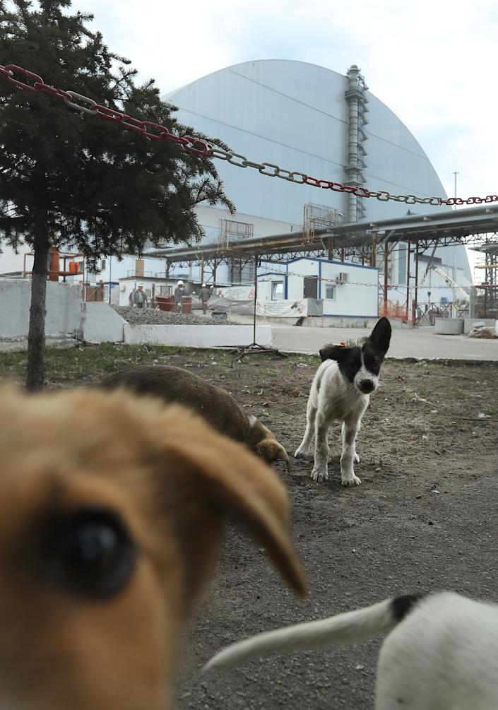 """Stray dogs loiter inside the high-security """"local zone"""" outside the new, giant enclosure that covers devastated reactor number four at the Chernobyl nuclear power plant on August 18, 2017 near Chernobyl, Ukraine. An estimated 900 stray dogs live in the exclusion zone, many of them likely the descendants of dogs left behind following the mass evacuation of residents in the aftermath of the 1986 nuclear disaster."""