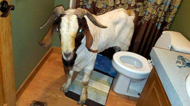 PHOTO: In this Friday, Oct. 4, 2019 photo, a goat stands in the bathroom of a home in Sullivan Township, Ohio. The goat named 'Big Boy,' was found napping in the bathroom after it broke into the home by ramming through a sliding glass door. (Jenn Keathley/AP)