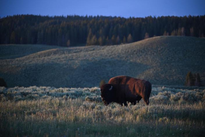 A bison grazes in Yellowstone National Park in Wyoming, a state which has become an unlikely cryptocurrency hub in recent years (AFP via Getty Images)