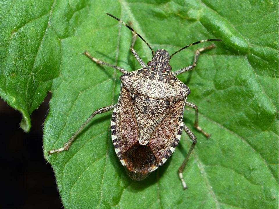 Stink bugs are named after the foul smell they release when threatened  (Getty)