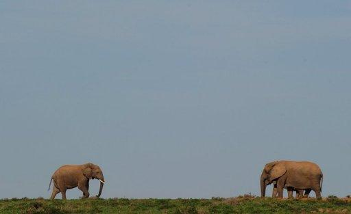 Elephants walk at Addo Elephant National Park
