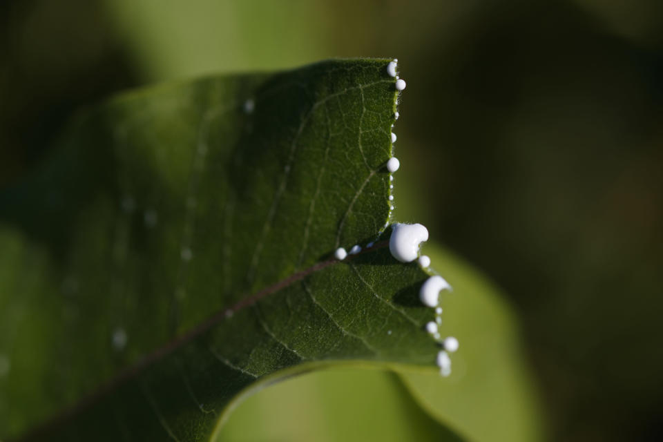 White sap seeps from a milkweed leaf at the Patuxent Wildlife Research Center in Laurel, Maryland, Friday, May 31, 2019. Farming and other human development have eradicated state-size swaths of its native milkweed habitat, cutting the monarch butterfly's numbers by 90% over the last two decades. It is now under considered for listing under the Endangered Species Act. (AP Photo/Carolyn Kaster)