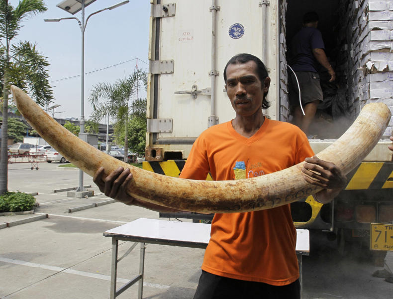 "In this photo taken on April 1, 2011, a Thai worker carries seized elephant tusks smuggled into Thailand from Kenya before a press conference at the customs headquarters in Bangkok, Thailand. How to slow the slaughter and curb the trade in ""blood ivory"" will be among the most critical issues up for debate at the 177-nation Convention on International Trade in Endangered Species, or CITES, that gets under way Sunday, March 3, 2013 in Bangkok. (AP Photo/Sakchai Lalit)"