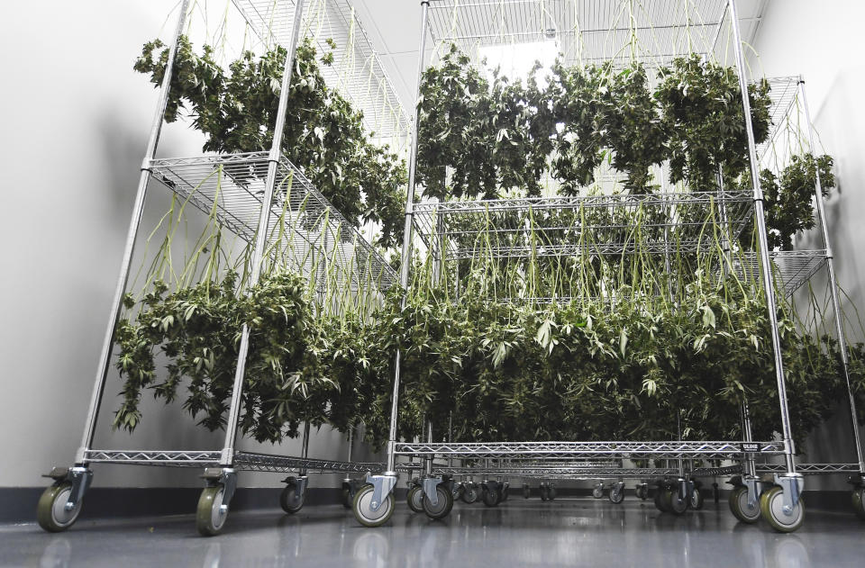 View of medical marijuana plants hanging to dry during a media tour of the Curaleaf medical cannabis cultivation and processing facility Thursday, Aug. 22, 2019, in Ravena, N.Y. (AP Photo/Hans Pennink)