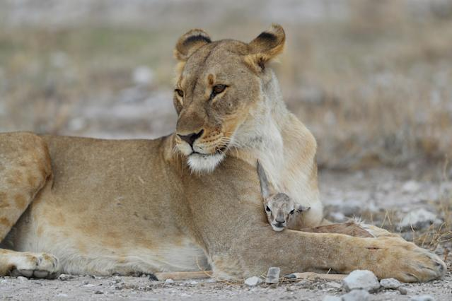 The lioness cuddles with her captive, a baby springbok, near Namutoni camp in Etosha National Park. (Photo: Gordon Donovan/Yahoo News)