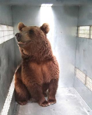 One of ten grizzlies from the Mendoza Zoological Park in Argentina in its transfer cage en route to The Wild Animal Sanctuary in Colorado.