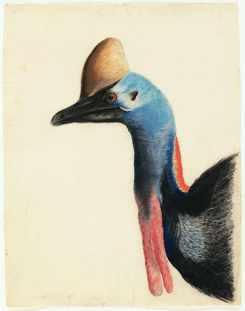 "This 1812 image provided by the New-York Historical Society of the head of a  Southern Cassowary is one of 474 bird watercolors by John James Audubon in the collection of the New-York Historical Society, which is mouting three exhibitions of all of its Audubon images over three years. The 474 watercolors include 435 that were engraved for Audubon's monumental ""The Birds of America."" It's considered the greatest book of printed engravings ever produced. The first group went on view March 8. (AP Photo/New-York Historical Society, John James Audubon)"