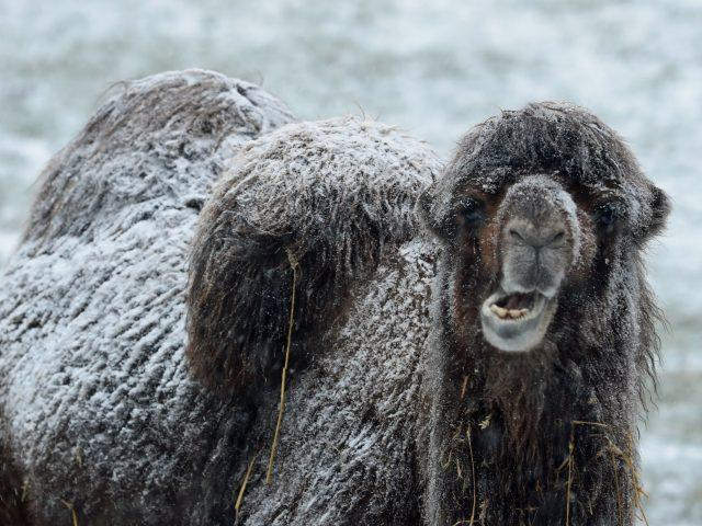 A camel stands in the snow at Mainsgill Farm near Richmond, North Yorkshire (Owen Humphreys/PA)