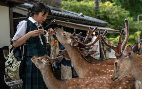 The Nara deer can be overwhelmingly pushy when it comes to feeding time - Credit: Getty