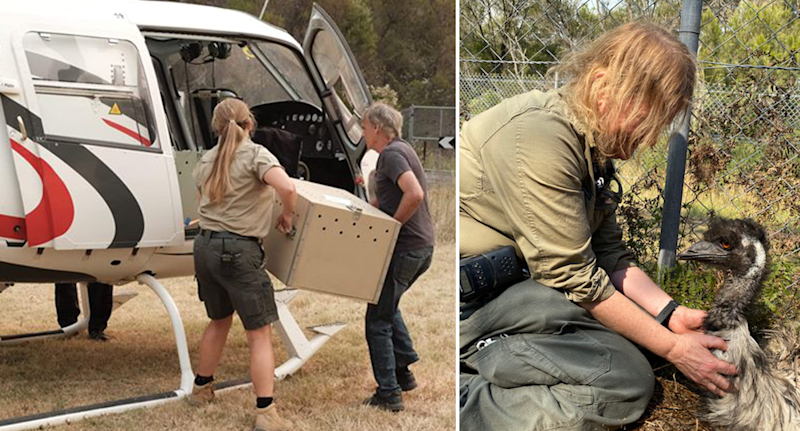 Wombats in a box are evacuated by helicopter by two people on the left. On the right, a rescuer helps an emu.