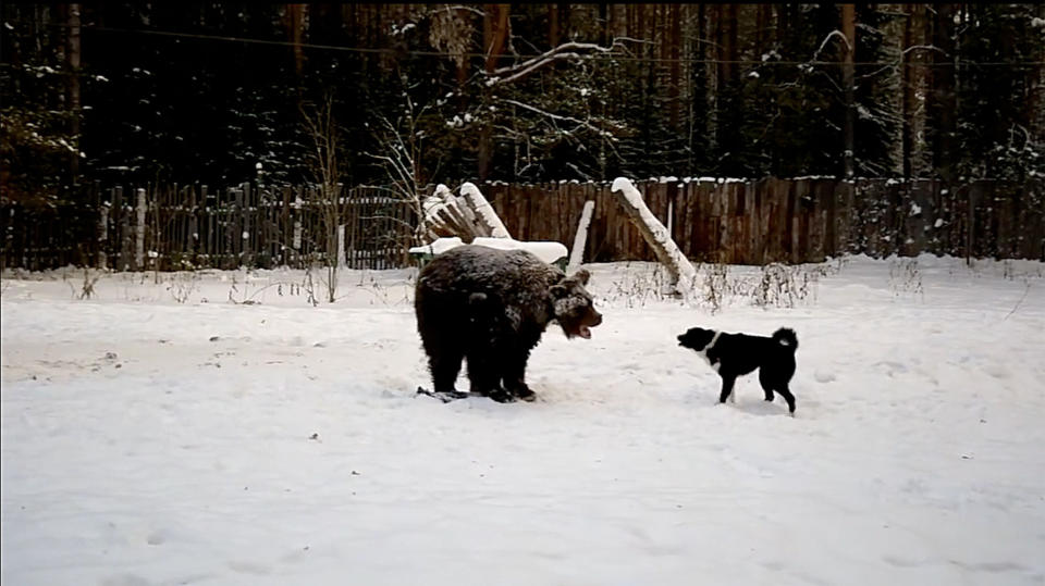 A still image from a video showing the bear being attacked by a dog. Source: East2West / Australscope