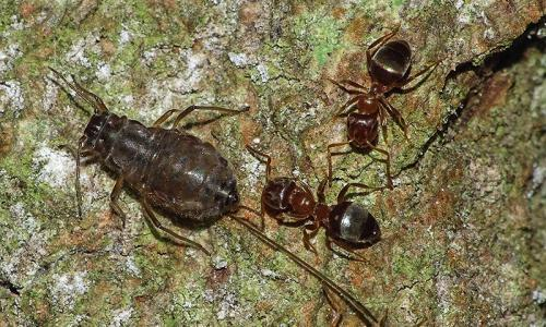 Ants run secret farms on English oak trees, photographer discovers