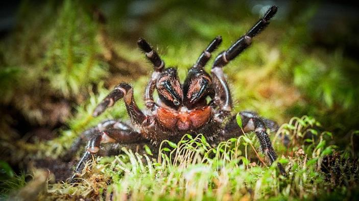 The 50 mm (two-inch) spider found in Booderee National Park is believed to be from the Hadronyche genus, which typically lives in trees (AFP Photo/Stuart Hay)