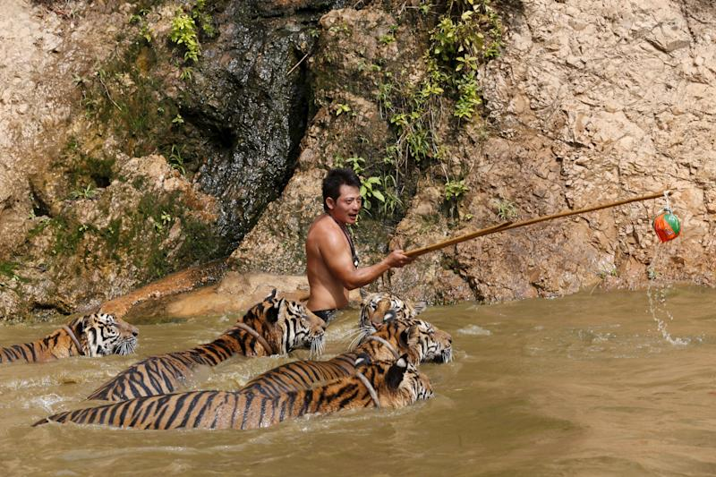 Several tigers swim while being trained at the Tiger Temple in Kanchanaburi Province, west of Bangkok, in February 2016. (Photo: Chaiwat Subprasom / Reuters)