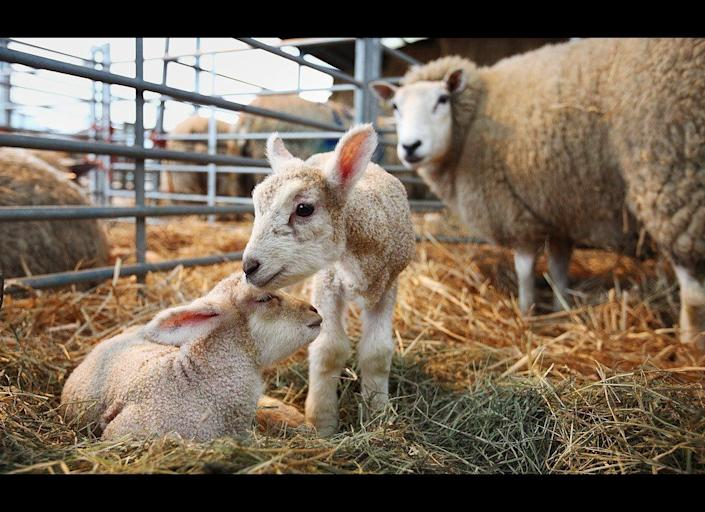 Newborn lambs are watched by their mother at Barracks Farm on April 1, 2011 in Fetcham, England. 300 ewes are lambing at the farm owned by the Conisbee family who supply their own butchers shops in nearby Horsley. The business has been run by generations of Conisbees for over 250 years.