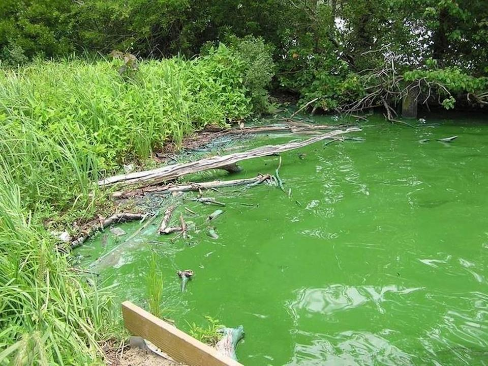 This is an example of a pond covered in the toxic blue-green algae in Charlotte. Toxic blue-green algae continues to bloom in a Lake Wylie cove, Mecklenburg County officials warned boaters and pet owners on Thursday, Sept. 16, 2012.