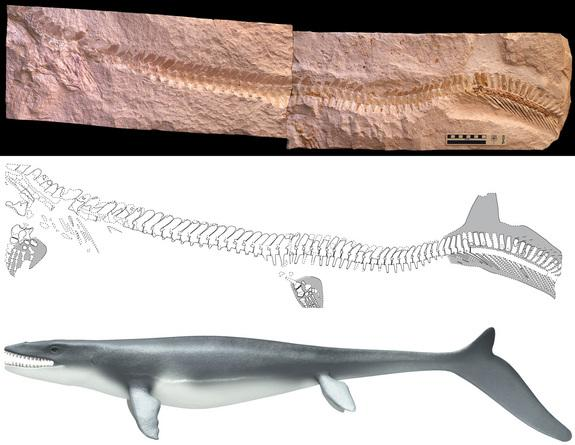 The juvenile Prognathodon unearthed in Jordan had imprints from its tail fins.