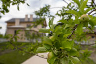 Fruit trees are visible in the Kitchen Garden at Arlington House, The Robert E. Lee Memorial, formerly named the Custis-Lee Mansion, which reopens to the public for the first time since 2018 at Arlington National Cemetery, Tuesday, June 8, 2021 in Arlington, Va. The Virginia mansion where Robert E. Lee once lived that now overlooks Arlington National Cemetery is open to the public again, after a $12 million rehabilitation and reinterpretation that includes an increased emphasis on those who were enslaved there. (AP Photo/Andrew Harnik)