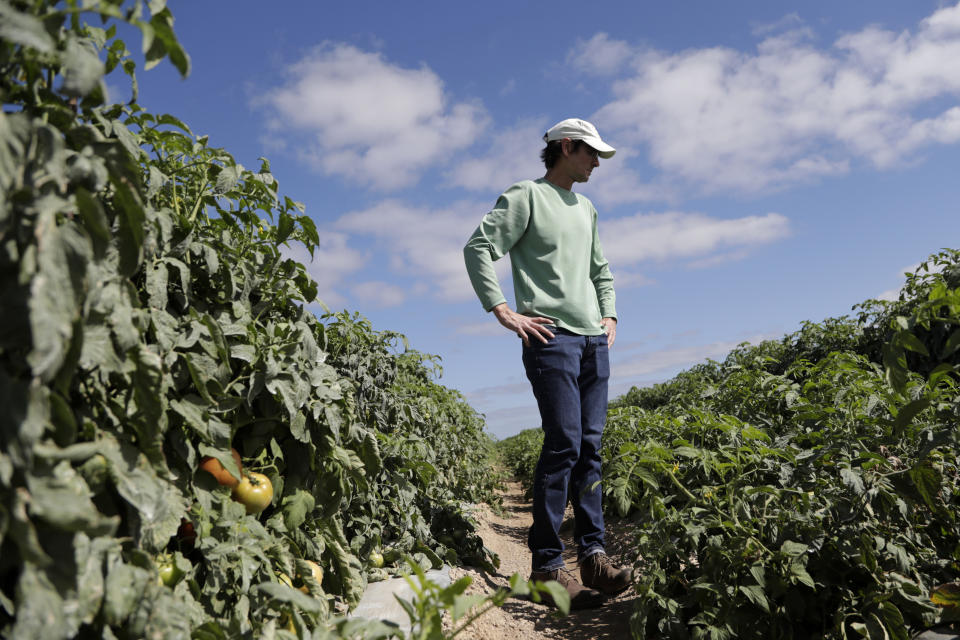 In this March 28, 2020, photo, DiMare farm manager Jim Husk walks among plants in a tomato field, in Homestead, Fla. Thousands of acres of fruits and vegetables grown in Florida are being plowed over or left to rot because farmers can't sell to restaurants, theme parks or schools nationwide that have closed because of the coronavirus. (AP Photo/Lynne Sladky)